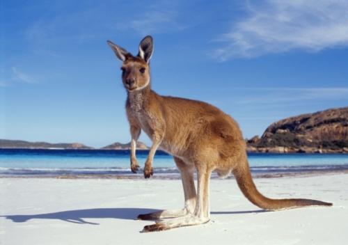 australie-kangourou